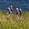 """Quartet""<br /> Brown Pelicans<br /> Castle Pinckney<br /> Charleston Harbor<br /> Charleston, SC"