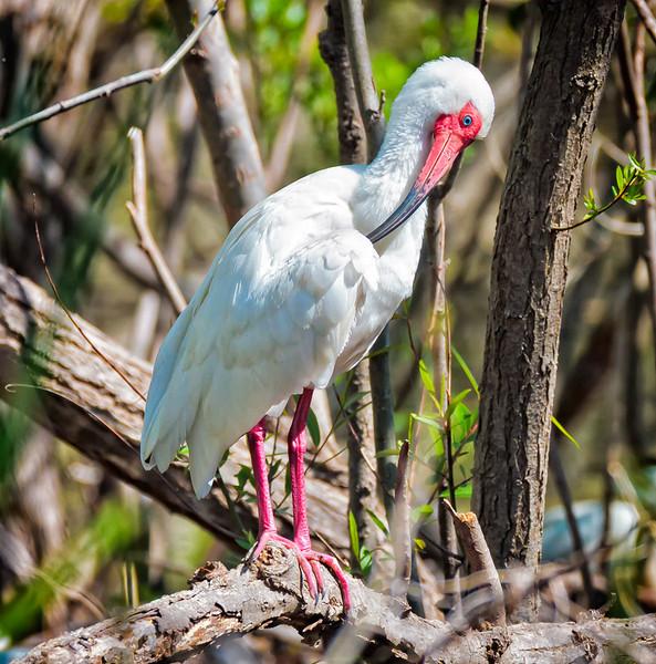 Ibis #9<br /> Pinckney Island National Wildlife Refuge<br /> Hilton Head Island, SC