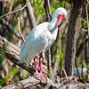 Ibis #9<br /> Pinckney Island National Wildlife Refuge<br /> Hilton Head Island, SC
