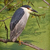 Black-crowned Night Heron #3<br /> Pinckney Island National Wildlife Refuge<br /> Hilton Head Island, SC