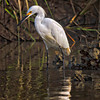 """Waiting for Dinner""<br /> Snowy Egret<br /> Shem Creek<br /> Mt. Pleasant, SC"