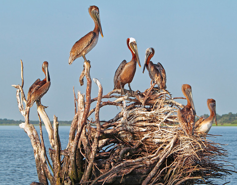 """Pelican Candelabra""<br /> Brown Pelicans<br /> Calibogue Sound<br /> Hilton Head Island, SC"
