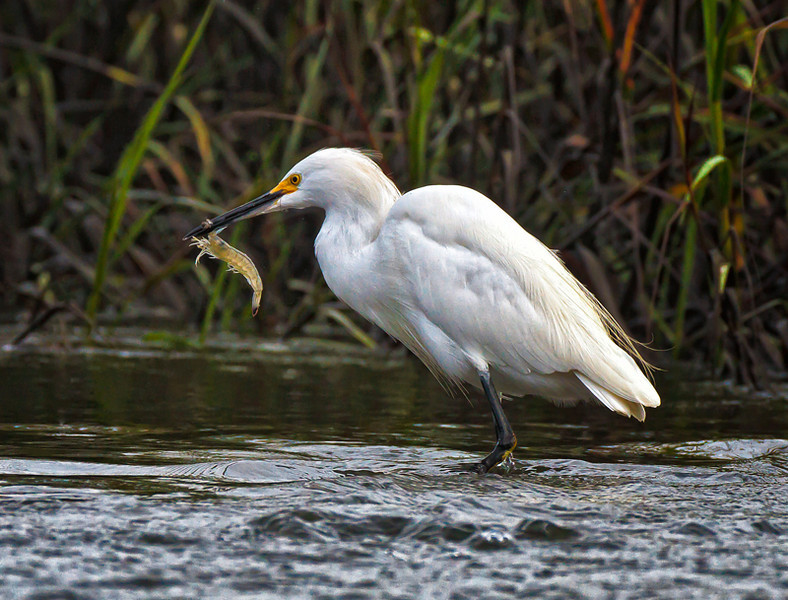 """Lunch""<br /> Snowy Egret<br /> Shem Creek<br /> Mt. Pleasant, SC"