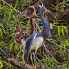 Tricolored Heron and her Juveniles<br /> Pinckney Island National Wildlife Refuge<br /> Hilton Head Island, SC