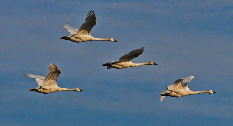 Tundra Swans<br /> Bear Island Wildlife Management Area<br /> Green Pond, SC