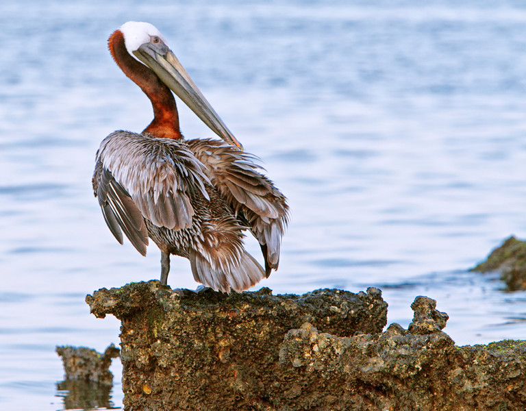 """Are You Looking at Me?""<br /> Brown Pelican<br /> Charleston Harbor<br /> Charleston, SC"