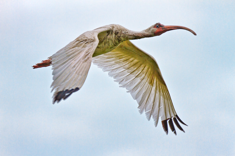 Ibis #7<br /> Pinckney Island National Wildlife Refuge<br /> Hilton Head Island, SC