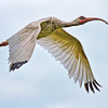 Ibis #7<br /> Pinckney Island National Wildlife Refuge<br /> Hilton Head Island, SC