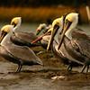 """Pelican Beach""<br /> Brown Pelicans<br /> St. Helena Island, SC"