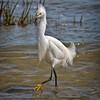 Snowy Egret Prancing<br /> Fish Haul Creek Park<br /> Hilton Head Island, SC