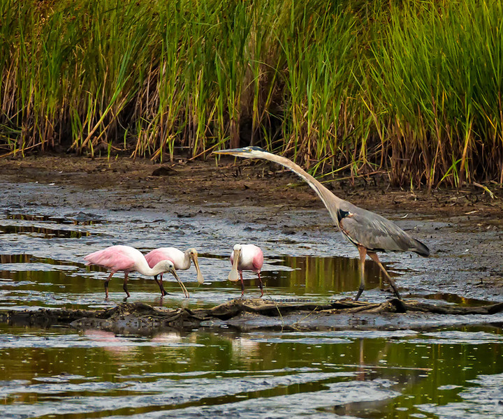 Feeding Roseate Spoonbills with an observant Great Blue Heron<br /> Donnelley Wildlife Management Area<br /> Green Pond, SC