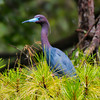 Little Blue Heron #1<br /> Lady's Island, SC