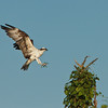 """Coming in for a Landing""<br /> Osprey<br /> Haulover Rookery<br /> Merritt Island National Wildlife Refuge<br /> Merritt Island, FL"