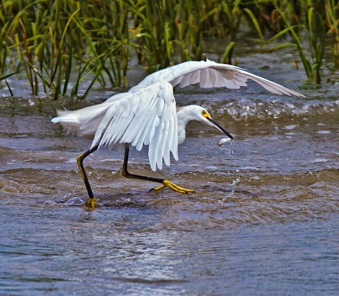 """""""Gotcha!""""<br /> Snowy Egret<br /> Fish Haul Creek Park<br /> Hilton Head Island, SC"""