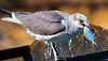 """Snacktime""<br /> Laughing Gull<br /> at Sea on ""The Poor Boy"" Shrimpboat<br /> St. Helena Sound, SC"