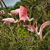 """Playtime""<br /> Roseate Spoonbills<br /> Donnelley Wildlife Management Area<br /> Green Pond, SC"