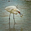 """Supper""<br /> Snowy Egret<br /> Fish Haul Creek Park<br /> Hilton Head Island, SC"