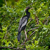 Anhinga<br /> Cypress Wetlands<br /> Port Royal, SC