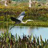 """Blissful""<br /> Great Blue Heron<br /> Double B Ranch<br /> Hollywood, FL"