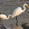"""Fishing Buddies""<br /> Snowy Egret & Great Egret<br /> Haulover Canal<br /> Merritt Island National Wildlife Refuge<br /> Merritt Island, FL"