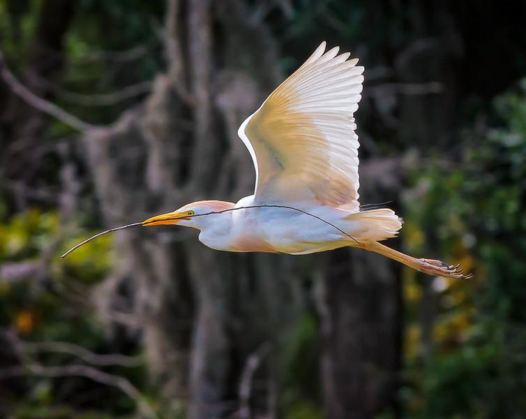 Cattle Egret in breeding plumage #3<br /> Cypress Wetlands<br /> Port Royal, SC