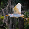 Cattle Egret in breeding plumage #3<br /> Cypress Wetlands<br /> Port Royal, SC