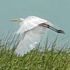 Great Egret<br /> Tomkins Island<br /> Hilton Head Island, SC