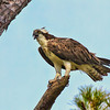Osprey #1<br /> Pinckney Island National Wildlife Refuge<br /> Hilton Head Island, SC