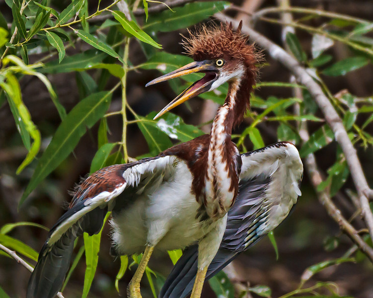 """Bad Hair Day""<br /> Juvenile Tricolored Heron<br /> Pinckney Island National Wildlife Refuge<br /> Hilton Head Island, SC"