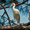 Ibis #4<br /> Pinckney Island National Wildlife Refuge<br /> Hilton Head Island, SC