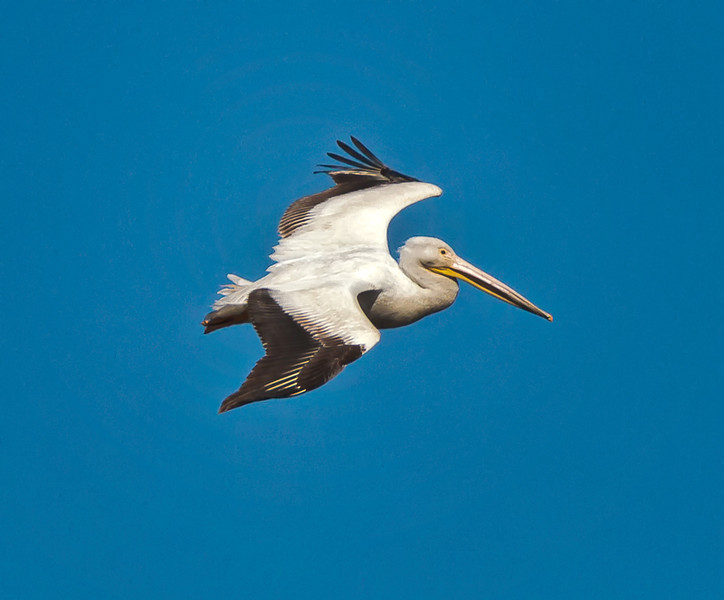 White Pelican Heading to Roost<br /> Bear Island Wildlife Management Area<br /> Green Pond, SC
