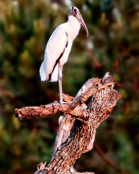 """Perched""<br /> Wood Stork<br /> Middle Grounds<br /> Ossabaw Island, GA"