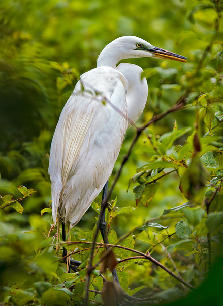"""Portrait""<br /> Great Egret<br /> Lady's Island, SC"