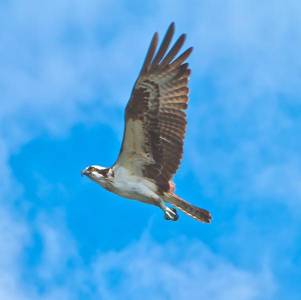 Osprey #3<br /> Charleston Harbor<br /> Charleston, SC