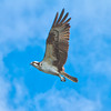 Osprey #3<br /> Charleston Harbor<br /> Charleston, SC