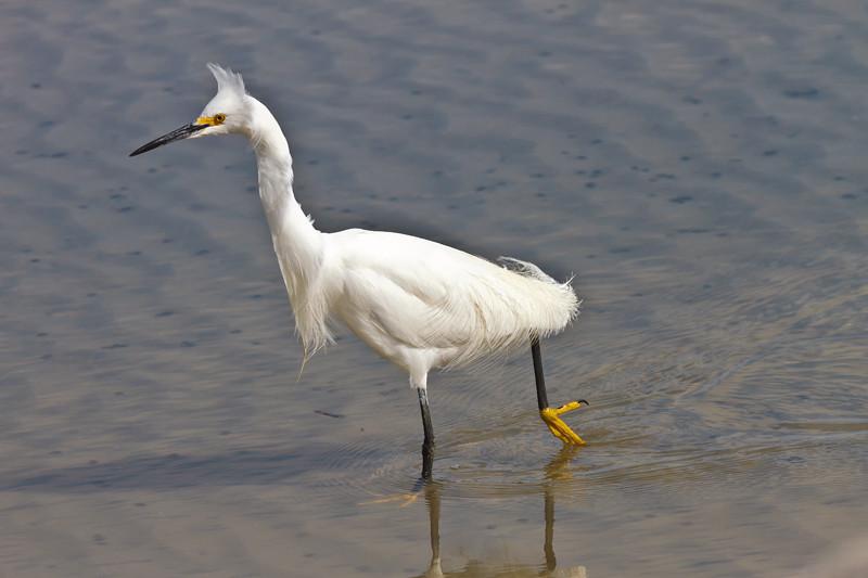 Snowy Egret On Patrol<br /> Fish Haul Creek Park<br /> Hilton Head Island, SC