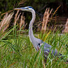 """Statuesque""<br /> Great Blue Heron<br /> Pinckney Island National Wildlife Refuge<br /> Hilton Head Island, SC"