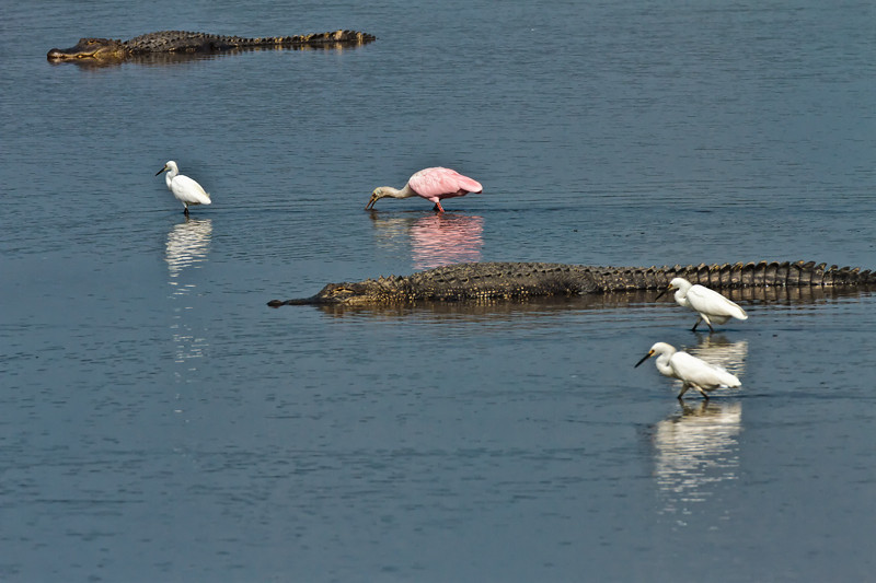 """Can You Say C-O-N-F-I-D-E-N-C-E?""<br /> Snowy Egrets and a Roseate Spoonbill Feeding<br /> Donnelley Wildlife Management Area<br /> Green Pond, SC"