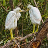 """What Do You Want to Do Today?""<br /> Little Blue Heron Chicks<br /> Pinckney Island National Wildlife Refuge<br /> Hilton Head Island, SC"