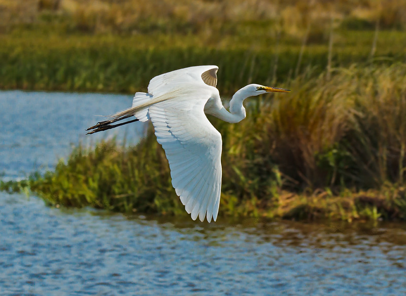 """Gliding""<br /> Great Egret<br /> Donnelley Wildlife Management Area<br /> Green Pond, SC"