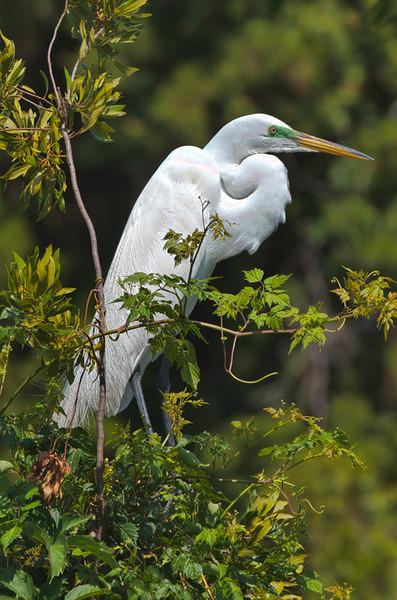 Great Egret in breeding plumage<br /> Harbor Island, SC