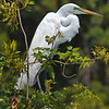 Great Egret in breeding plumage<br /> Harbor Island, SC
