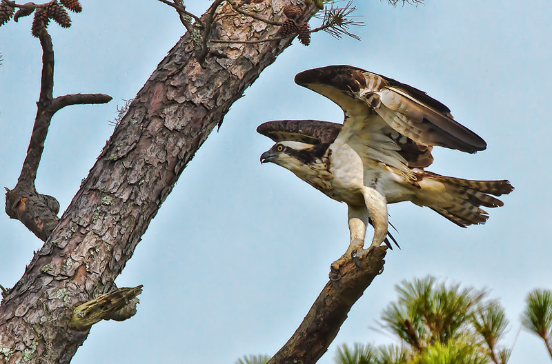 Osprey #2<br /> Pinckney Island National Wildlife Refuge<br /> Hilton Head Island, SC