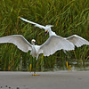 """This is My Beach""<br /> Snowy Egrets<br /> Fish Haul Creek Park<br /> Hilton Head Island, SC"