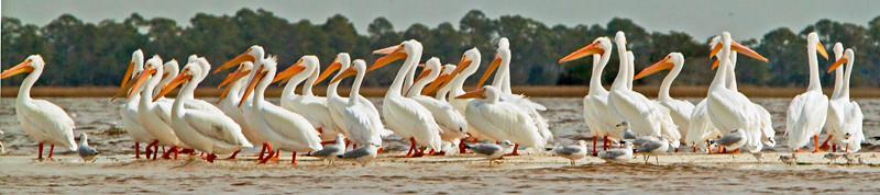 White Pelicans<br /> Cedar Key, FL