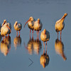 """The Morning Gathering""<br /> Ibis<br /> Donnelley Wildlife Management Area<br /> Green Pond, SC"