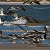 Skimmers #2<br /> Johnson Creek<br /> Hunting Island, SC