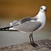 """Pretty Pose""<br /> Laughing Gull in Winter Plumage<br /> Hunting Island State Park Fishing Pier<br /> Hunting Island, SC"