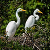 """Double Trouble""<br /> Great Egrets<br /> Cat Island, SC"