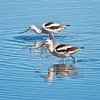 Avocets Feeding<br /> Bear Island Wildlife Management Area<br /> Green Pond, SC